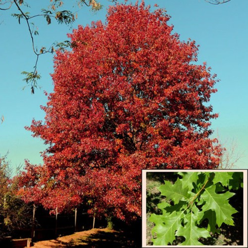 Texas Red Oak 5gal